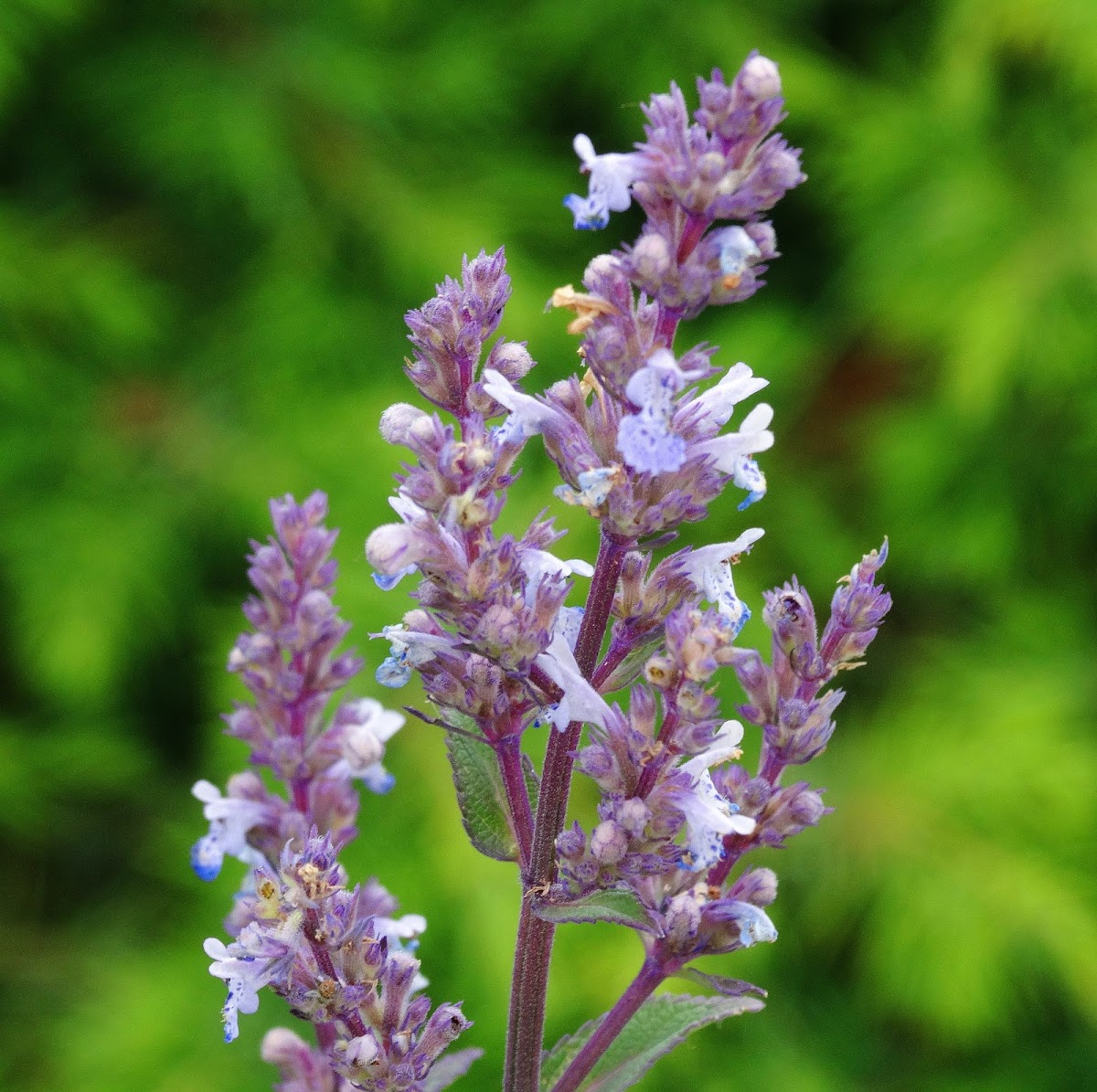 Hairless Catmint