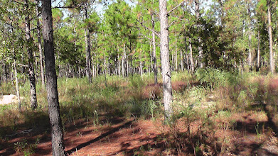 Photo: Flatwoods where the ant experiment took place