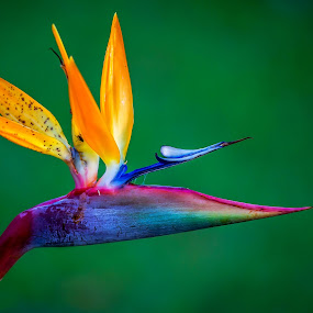 Flower of paradise by Jose Rojas - Flowers Single Flower ( wild flower, flower of paradise, bird of paradise, flower,  )