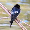 Barn swallow. Golondrina