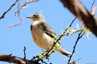 Photo: A Cape Wagtail (Afrikaans: Gewone Kwikkie) directly after it's first flight. Motswedi Camp Site, Mokala National Park, South Africa.