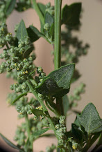 Photo: Chenopodium vulvaria
