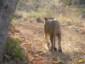 Photo: This was a real coup for us....to see a male lion walking towards us and then departing