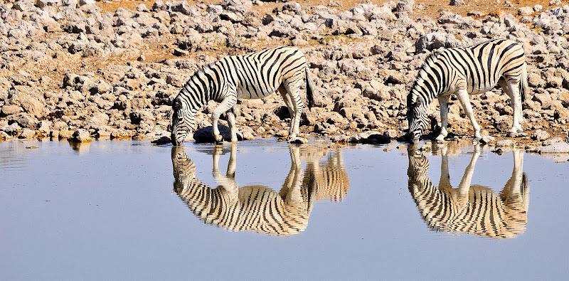 Zebre di vitomaso