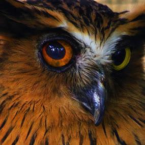 The Owl by Norbertus Andreanto Photos - Animals Birds ( burung hantu, bird, indonesia, pwctaggedbirds, owl, tmii, birds )