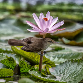 Bird and Water Lilly by Andre Minoretti - Animals Birds ( bird, nature, water flower, water lilly, vietnam, oriental reed warbler )