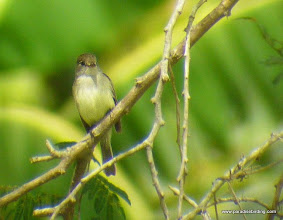 Photo: White-throated Flycatcher (Empidonax); Chacalilla