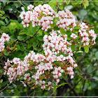 Bauhinia glauca 羊蹄甲藤