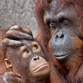 by Shelly Wetzel - Animals Other Mammals ( endangered, orangutan, primate )