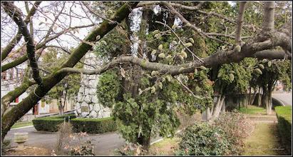 Photo: Magnolie (Magnolia) - din Piata 1 Decembrie 1918 -  2017.03.20