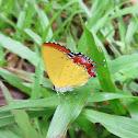 Purple Sapphire Butterfly