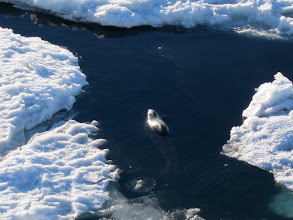 Photo: A seal swims in open water.