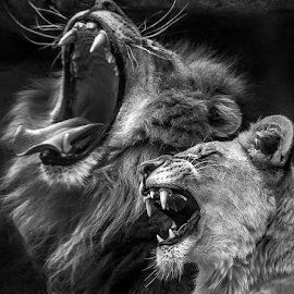 by Jorge Pacheco - Black & White Animals (  )
