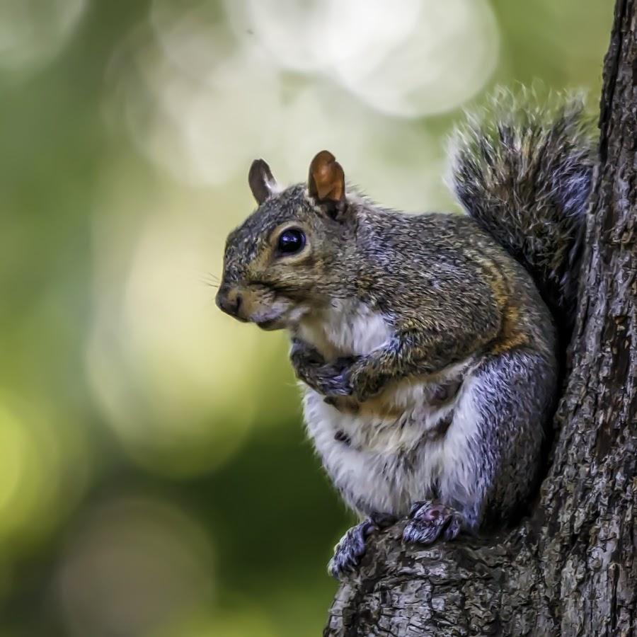 Mama Squirrel by Carol Plummer - Animals Other Mammals