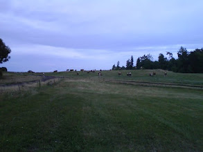 Photo: Krávy, které na mě výhružně bučely.