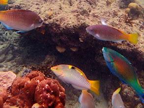 Photo: Halichoeres hortulanus (Marble Wrasse), Miniloc Island Resort reef, Palawan, Philippines.
