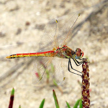 Photo: Red Veined Darter (Sympetrum fonscolombii) taken at the Ebro Delta, Catalonia, Spain  This is an young male. They start off yellow and similar to the female, then get progressively more red as they mature. I couldn't ID any of the Odonata I captured on holiday without looking at photos on the web, as I realised that my insect book just didn't have enough space to be showing pictures of every insect at every stage of its life. Shame, but then it wouldn't have been a light book to take away with me, and it did come in very handy for moths and beetles!  For +Buggy Friday curated by +Ray Bilcliff +Sherry McBriar +Dorothy Pugh and +Victoria Etna #buggyfriday  +Square Any Day curated by +andi rivarola #squareanyday