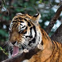 Tigre di PaoloFranceschini