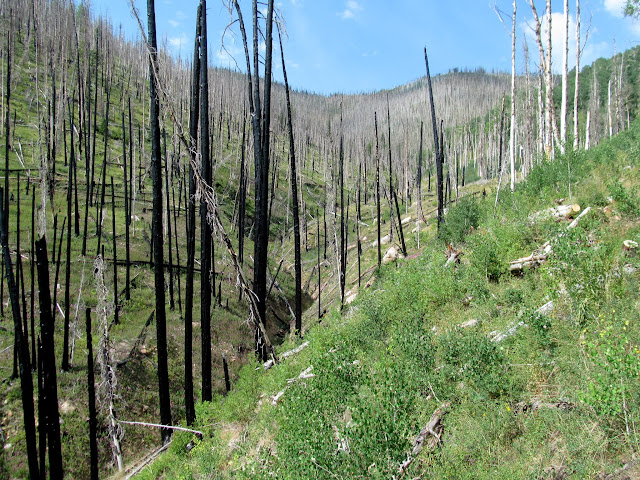 New aspen growth and burned pines