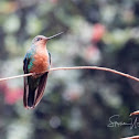 Great Sapphirewing Hummingbird