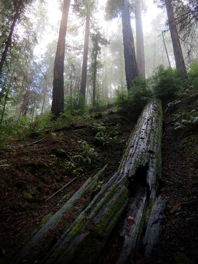 Montgomery Grove by Michele Whitlow - Landscapes Forests ( haze, redwoods, sequoias, california, trees, montgomery grove )