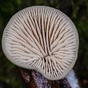 Lentinellus pulvinulus