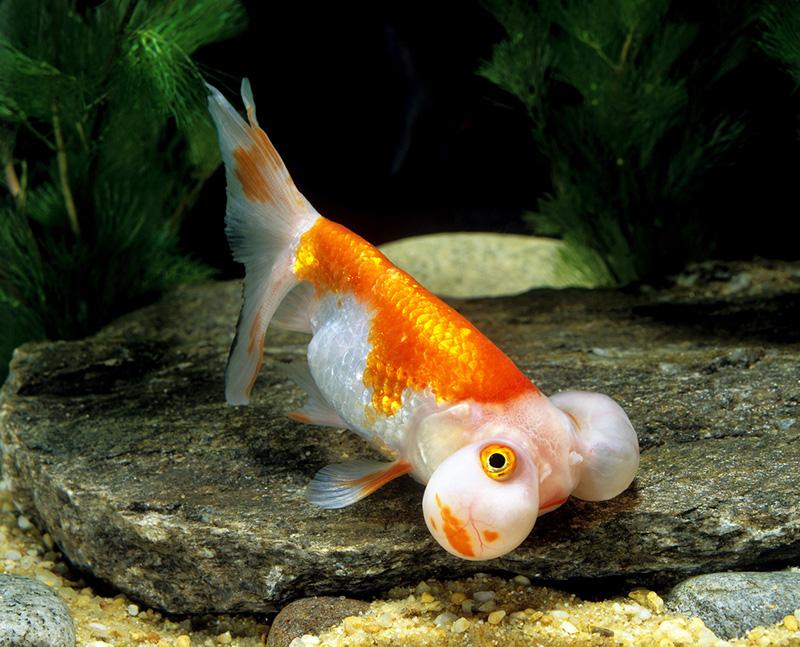 7. Bubble Eyes Goldfish