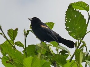 Photo: Red-winged Blackbird:  http://www.allaboutbirds.org/guide/Red-winged_blackbird/id