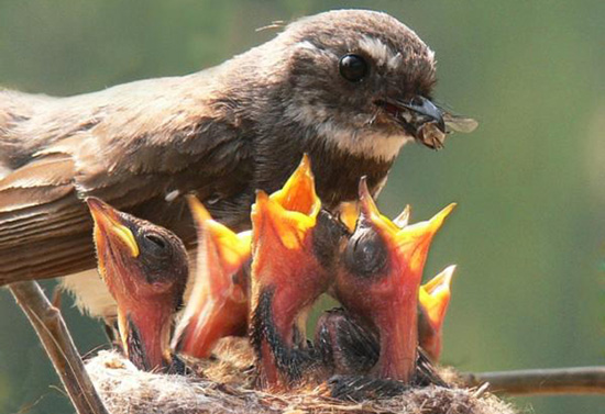 A mother bird feeds breakfast to a bunch of baby birds.