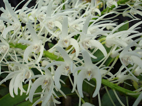 Photo: Den. speciosum