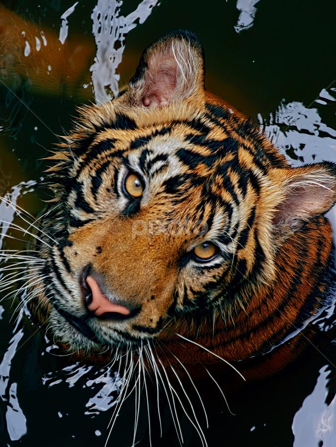 Si Belang 1 by Ubayoedin As Syam - Animals Lions, Tigers & Big Cats (  )