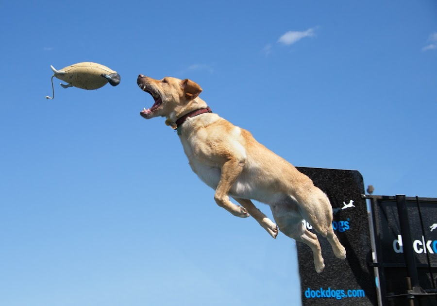 This dog jumped over 22 feet. He took first place.  by Andrew Halpern - Animals - Dogs Playing