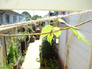 Photo: Golden hops vine getting started above the back gate.  (Front gate has jasmine.)