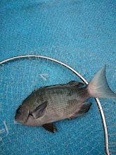 Photo: クロでした!  本命の真鯛が釣れなーい!