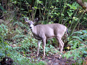Photo: Black-tailed deer at Oswald Creek