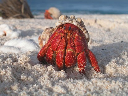 Hermit Crab Wallpapers HD - náhled