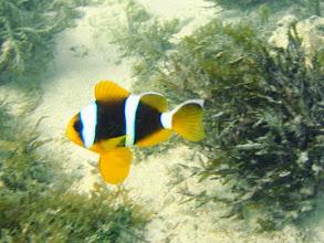 Photo: Amphiprion chrysopterus (Orangefin Clownfish), Naigani Island, Fiji