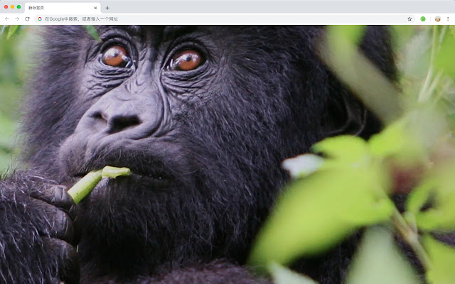 Gorilla HD Wallpapers New Tabs Animals Themes