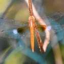 Coral-tailed Cloudwing / Evening Skimmer