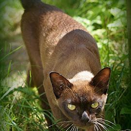 George by Caroline Beaumont - Animals - Cats Portraits ( pedigree kitten, pedigree cat, burmese kitten, brown burmese cat, brown cat )