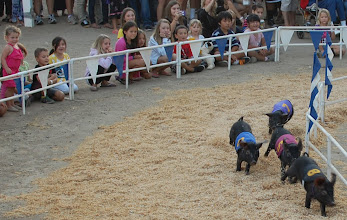 Photo: Alaskan Racing Pigs... could not make this s**t up if I tried...