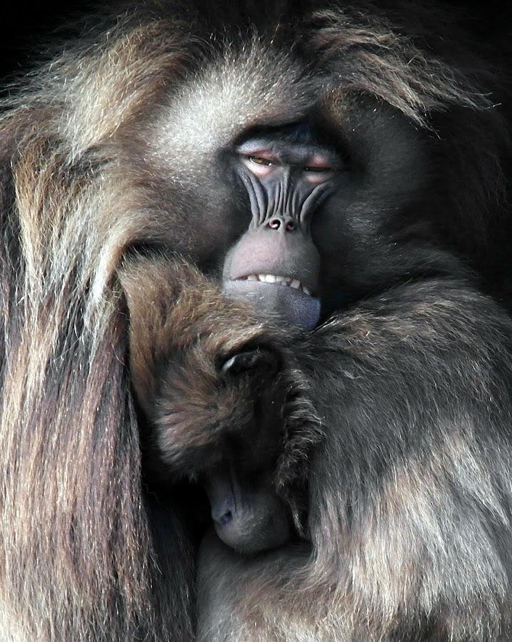 Baboons so in Love !!! by Julie Boylett - Animals Other Mammals