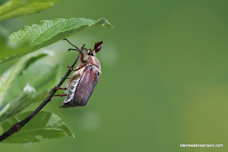 Photo: May beetle preps for escape