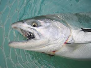 Photo: Alaska silver salmon fly fishing with Alaska Drift Away Fishing on the middle Kenai river.