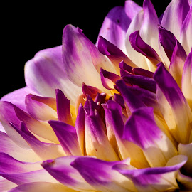 Intimate with a dahlia... by Claudius Cazan - Flowers Single Flower ( macro, purple, planting fields arboretum, sunshine, dahlia )