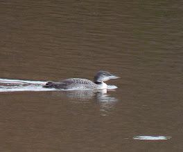 Photo: Common Loon