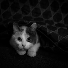 b&w by Alisa Andra - Black & White Animals ( black and white, scared, kitty, follow, eyes,  )