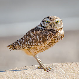 Burrowing Owl by Dave Lipchen - Animals Birds ( burrowing owl )