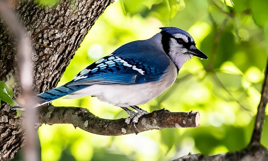 Portrait of a Blue Jay by Ed Stines - Animals Birds ( usa, song bird, blue jay, trees, wild bird, beaks, wilson, nc, backyard birding, feathers, wings, bird, backyard bird,  )
