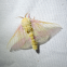 Rosy Maple Moth